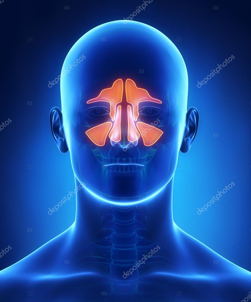 Sinuses anatomy — Stock Photo © CLIPAREA #37763109