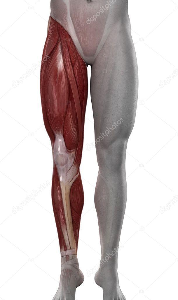 Anatomía de los músculos de pierna masculina aislado — Foto de stock ...