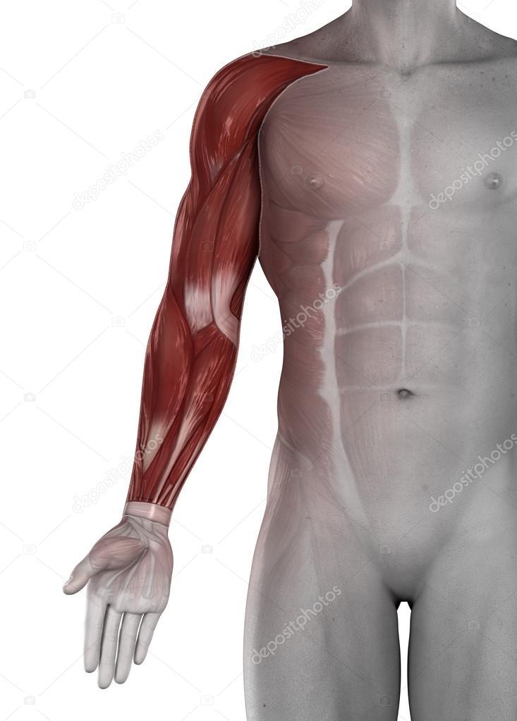 männliche Arm Hand Muskeln Antomy isoliert — Stockfoto © CLIPAREA ...