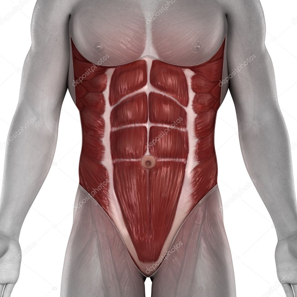 los músculos del abdomen Anatomía masculina aislado — Foto de stock ...