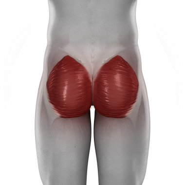 Gluteus maximus male muscle