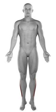 Peroneus longus muscles anatomy