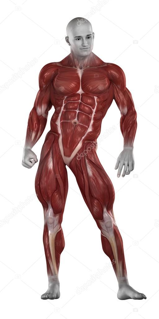 Anatomía de los músculos de fisicoculturista — Fotos de Stock ...