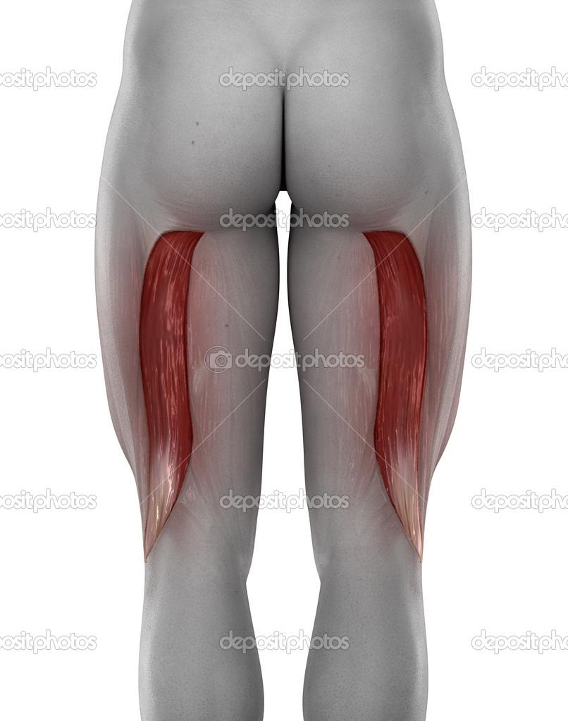 Anatomía masculina bíceps femoral — Fotos de Stock © CLIPAREA #39844531