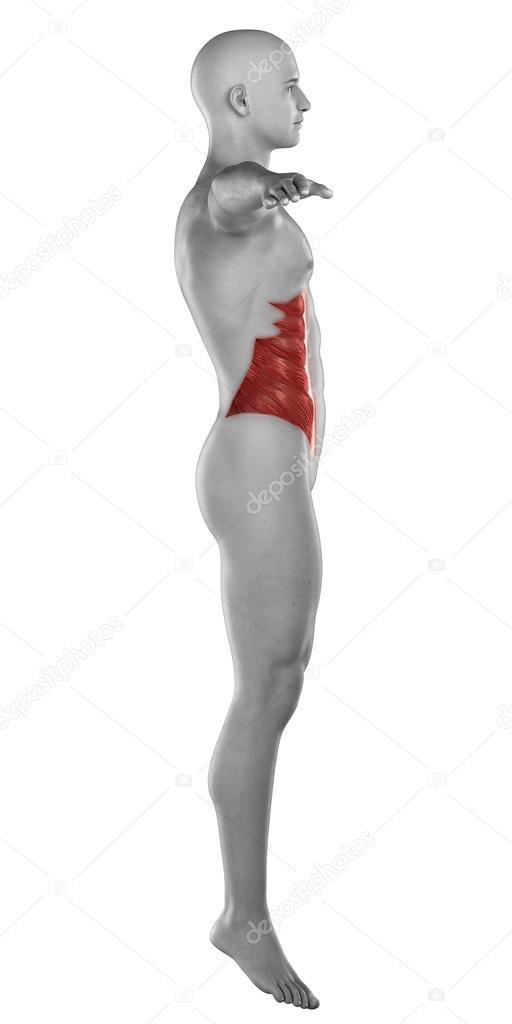 hombre del músculo oblicuo externo — Fotos de Stock © CLIPAREA #39844903