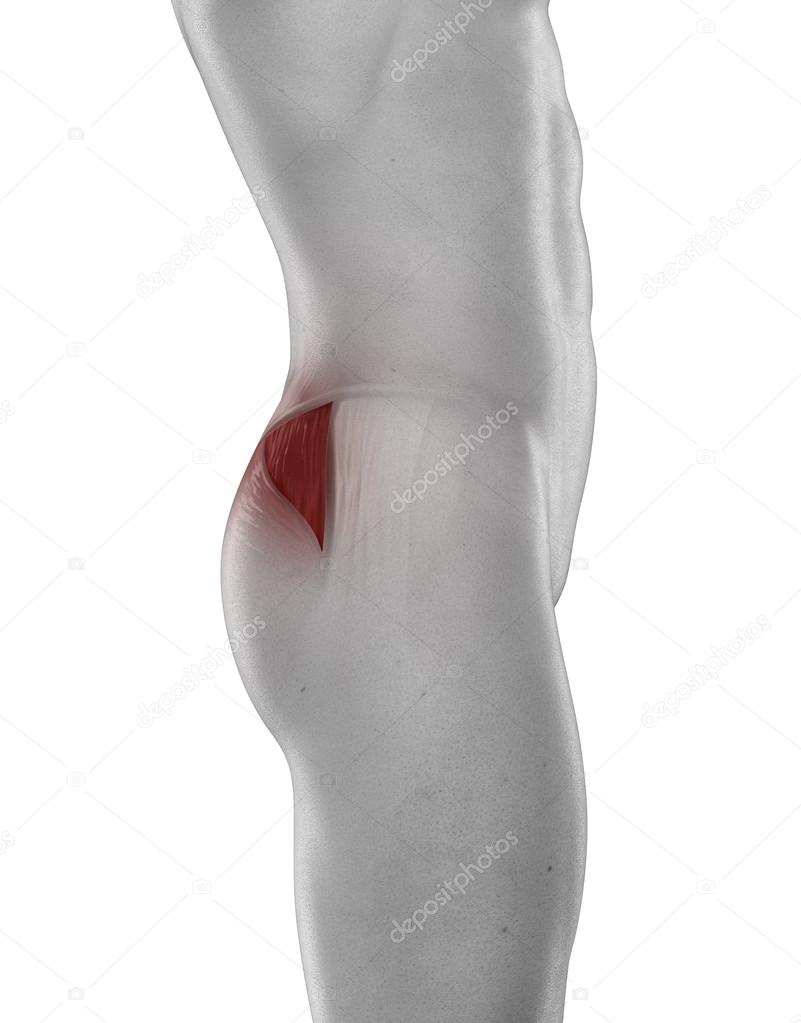 Man Gluteus Medius Anatomy Stock Photo Cliparea 39844913