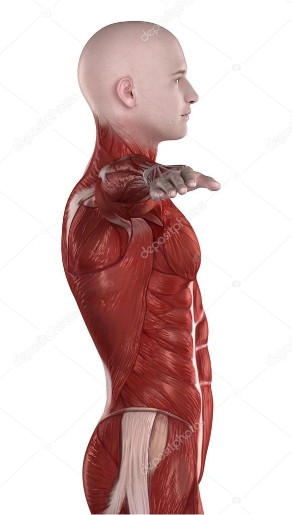 Mann Bauchmuskeln Anatomie — Stockfoto © CLIPAREA #39844919