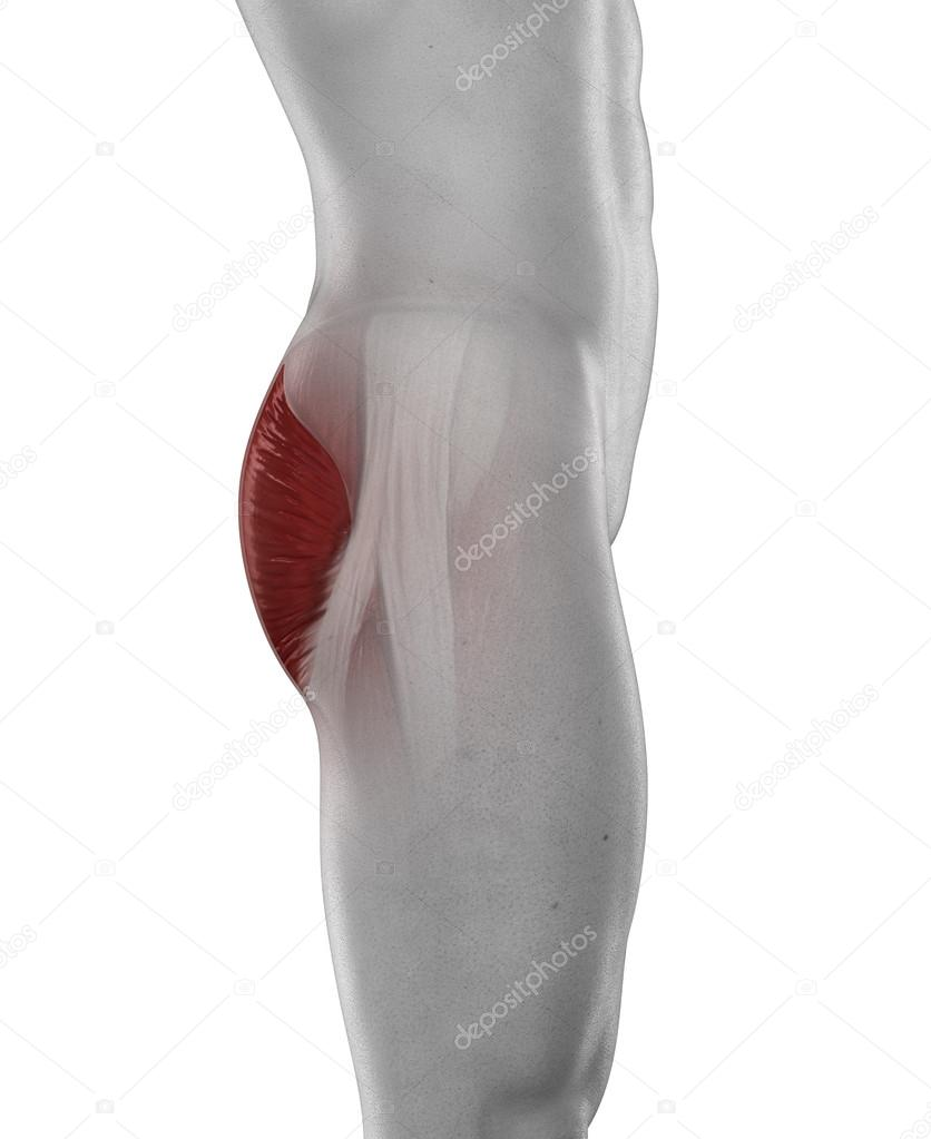 Anatomía de hombre gluteus medius — Fotos de Stock © CLIPAREA #39844949