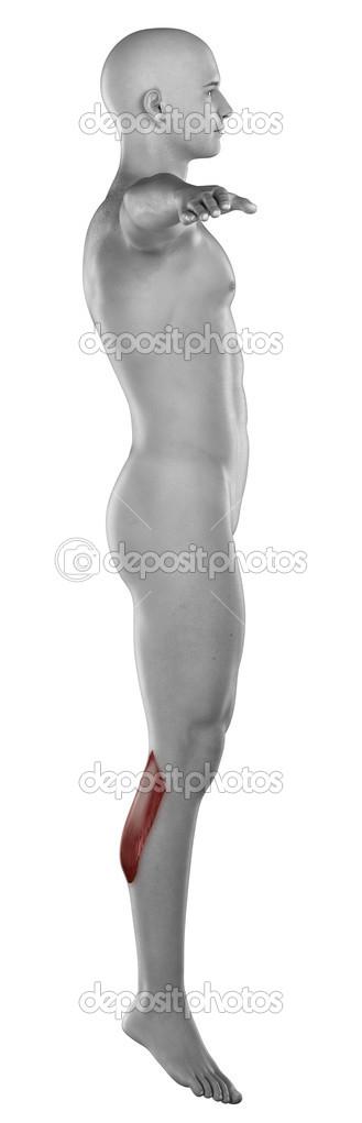 músculo gastrocnemio hombre — Fotos de Stock © CLIPAREA #39844957