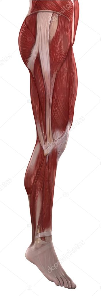 Legs Muscles Anatomy Stock Photo Cliparea 39844987