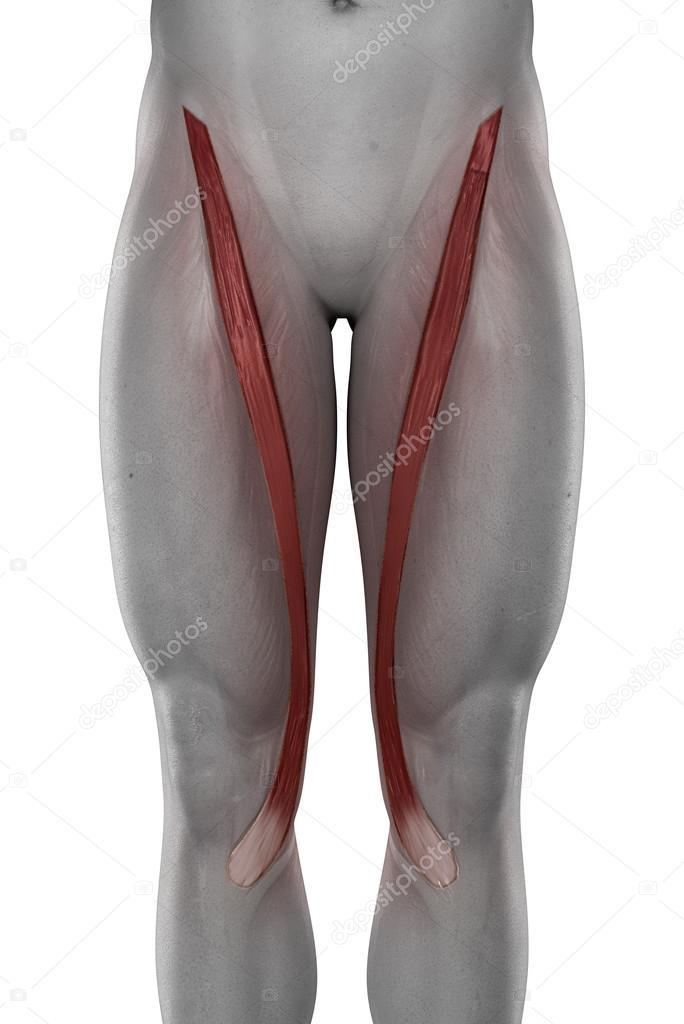 Anatomía masculina músculos Sartorio — Fotos de Stock © CLIPAREA ...