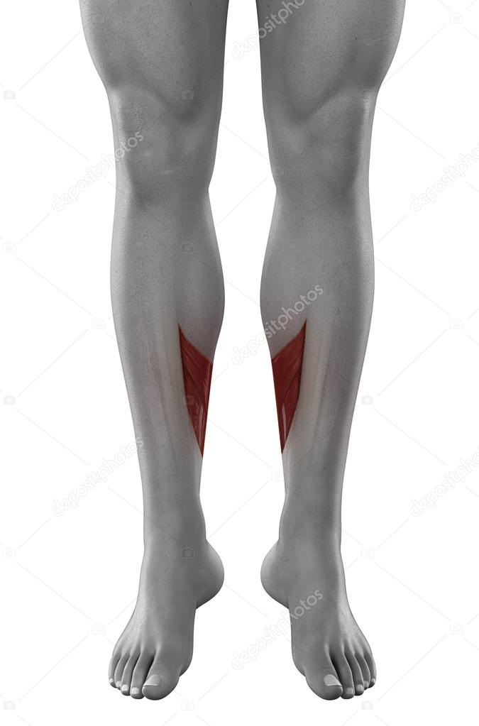 Soleus male muscles anatomy — Stock Photo © CLIPAREA #39845195