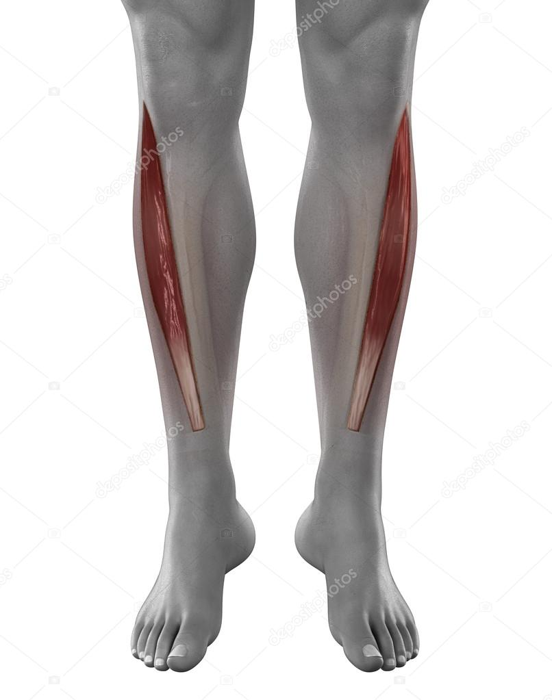 Tibialis anterior male muscle — Stock Photo © CLIPAREA #39845217