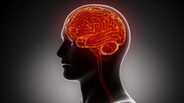 Man brain anatomy
