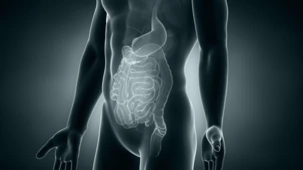 mužské anatomii abdominl orgány umístění