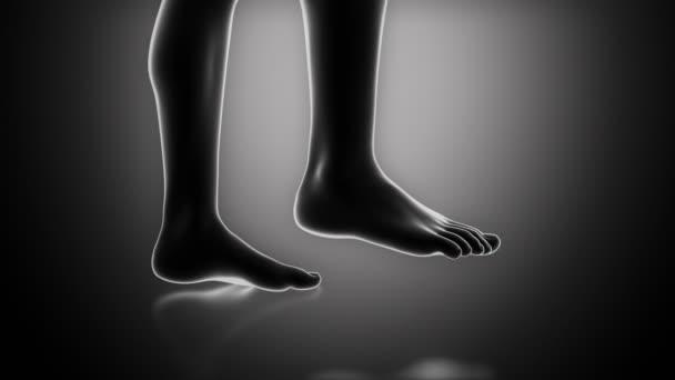anatomie kosti nohy