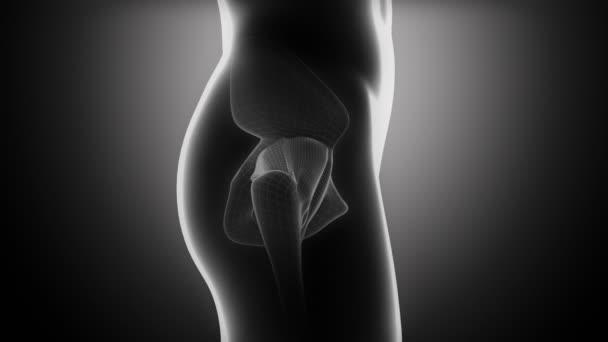 Anatomía de cadera — Vídeos de Stock © CLIPAREA #50935045