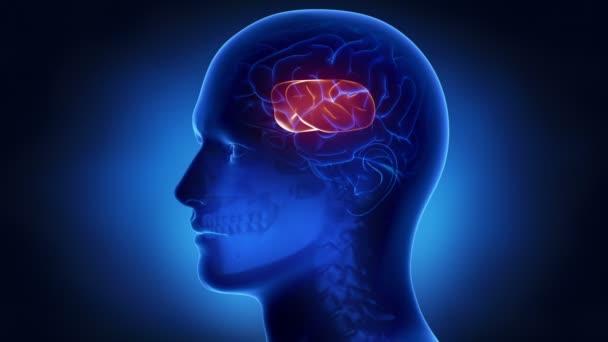 Anatomie des Gehirns Teile — Stockvideo © CLIPAREA #50935305