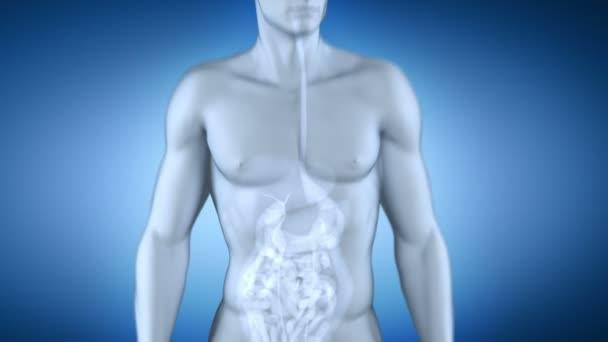 rentgenové anatomie mužského sleziny