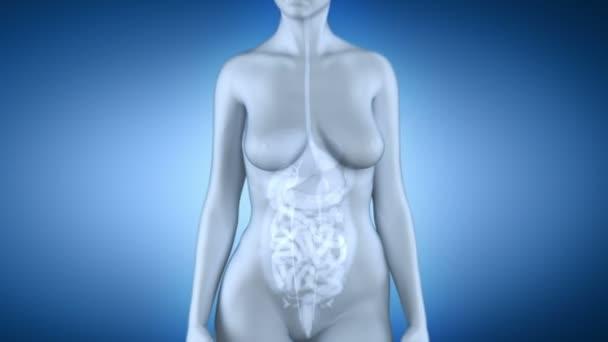 weibliche Anatomie der Leber — Stockvideo © CLIPAREA #50935467