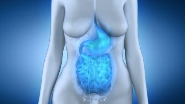 anatomie žaludku ženské střeva