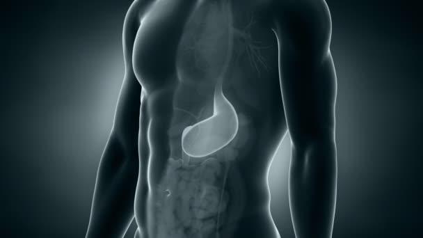 männlichen Anatomie Magen Positionierung
