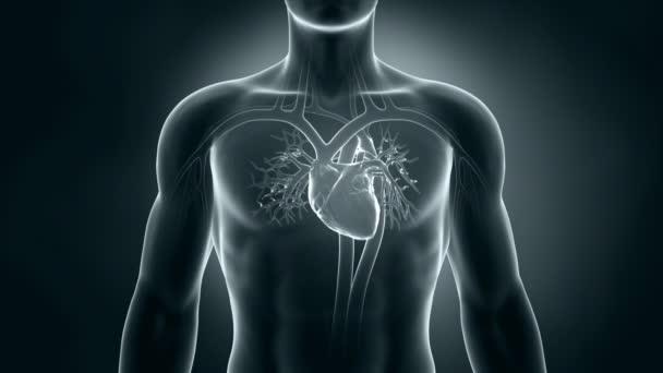 Anatomie des menschlichen Röntgenherzens