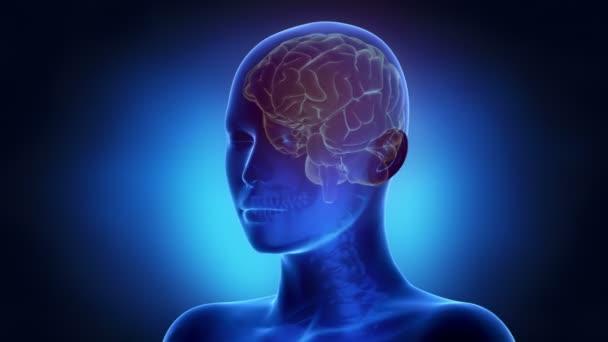 Frau Gehirn Anatomie
