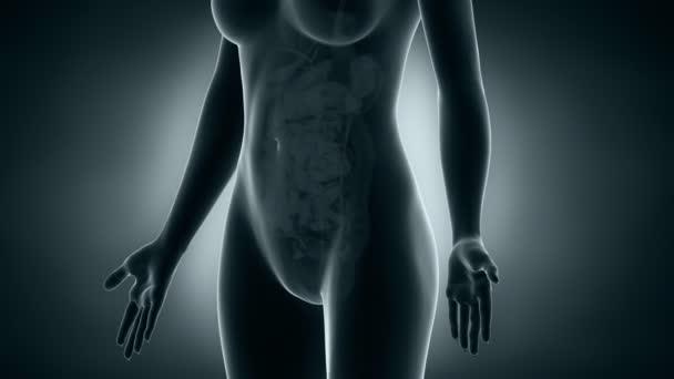 x-ray reprodukčního systému ženy