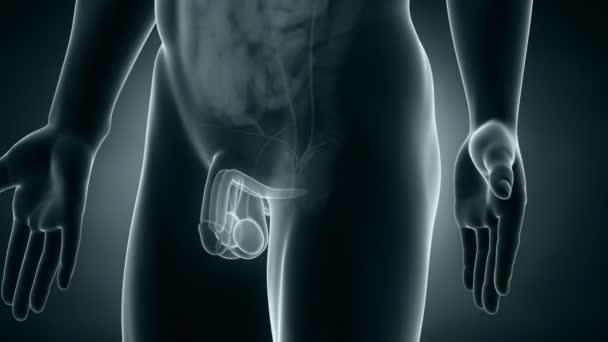 mužské anatomie reprodukčního systému polohování