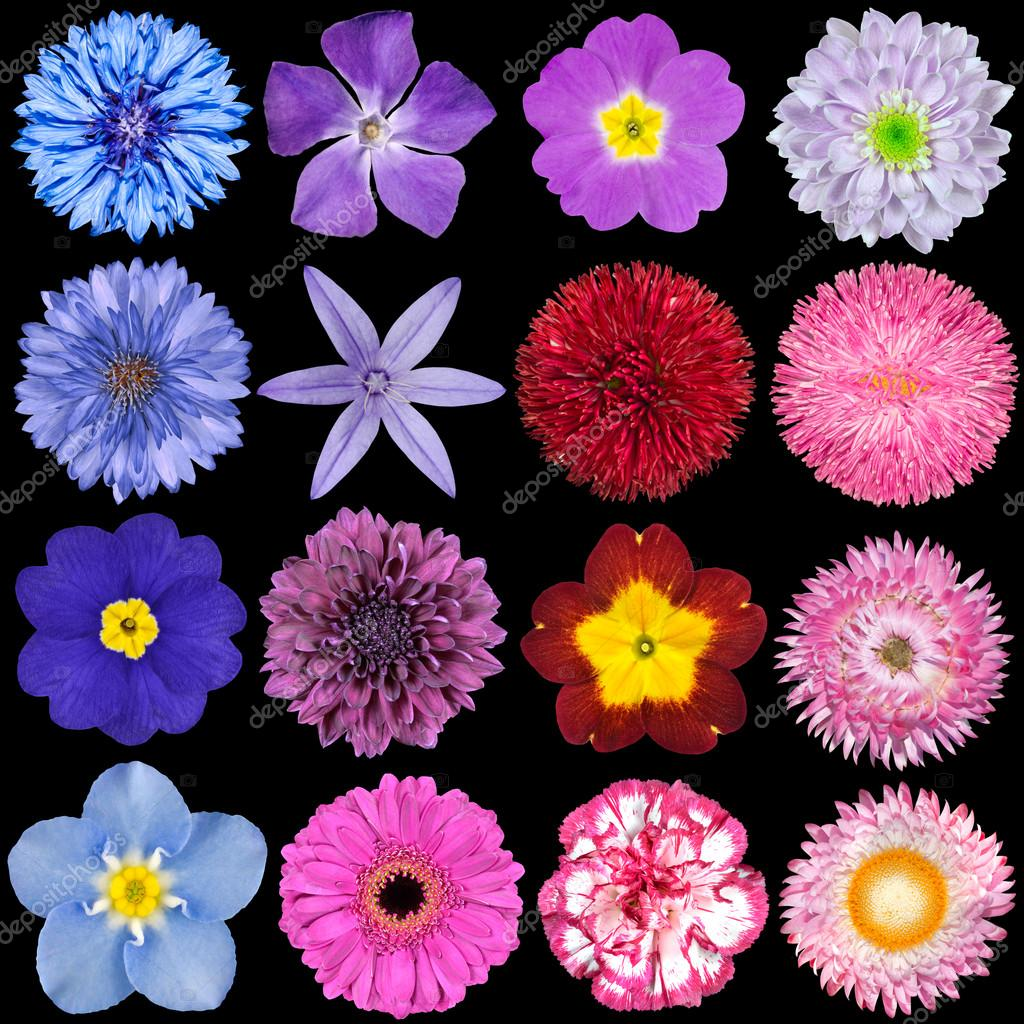 Various red pink blue and purple flowers isolated on black stock big selection of colorful flowers isolated on black background various red pink purple white colors including rose dahlia marigold zinnia izmirmasajfo