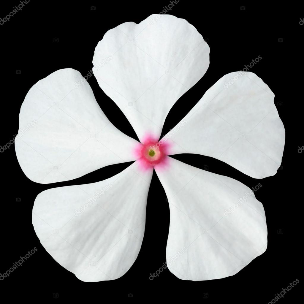 White Periwinkle Flower With Pink Center Isolated Stock Photo