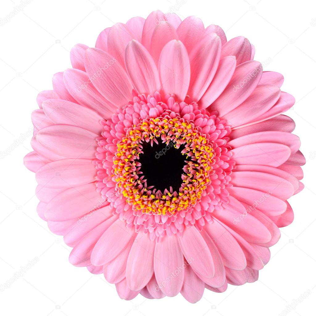 Gerbera Rose Fleur De Calendula Isole Sur Blanc Photographie Tr3gi
