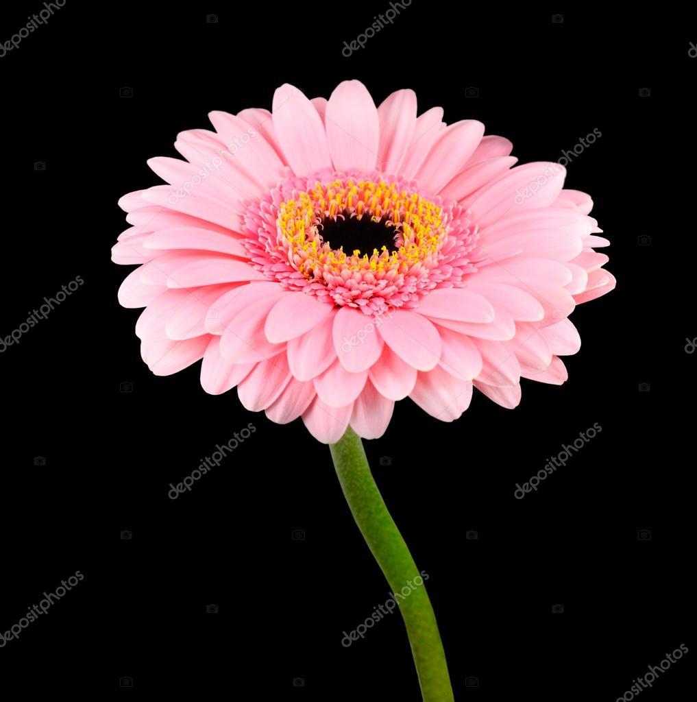 Fleur de gerbera rose avec tige vert isol photographie - Rose avec tige ...