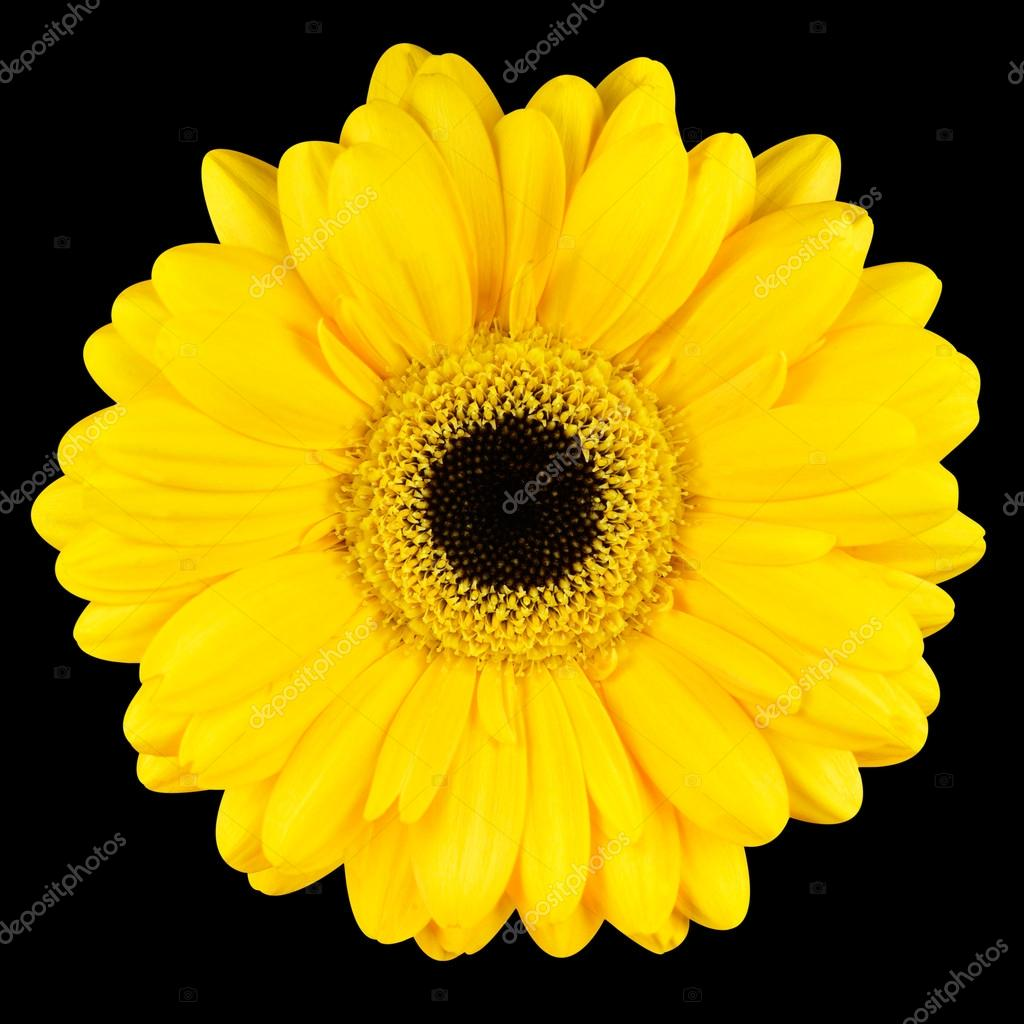 Close Up Of Yellow Gerbera Flower Macro Isolated On Black Stock