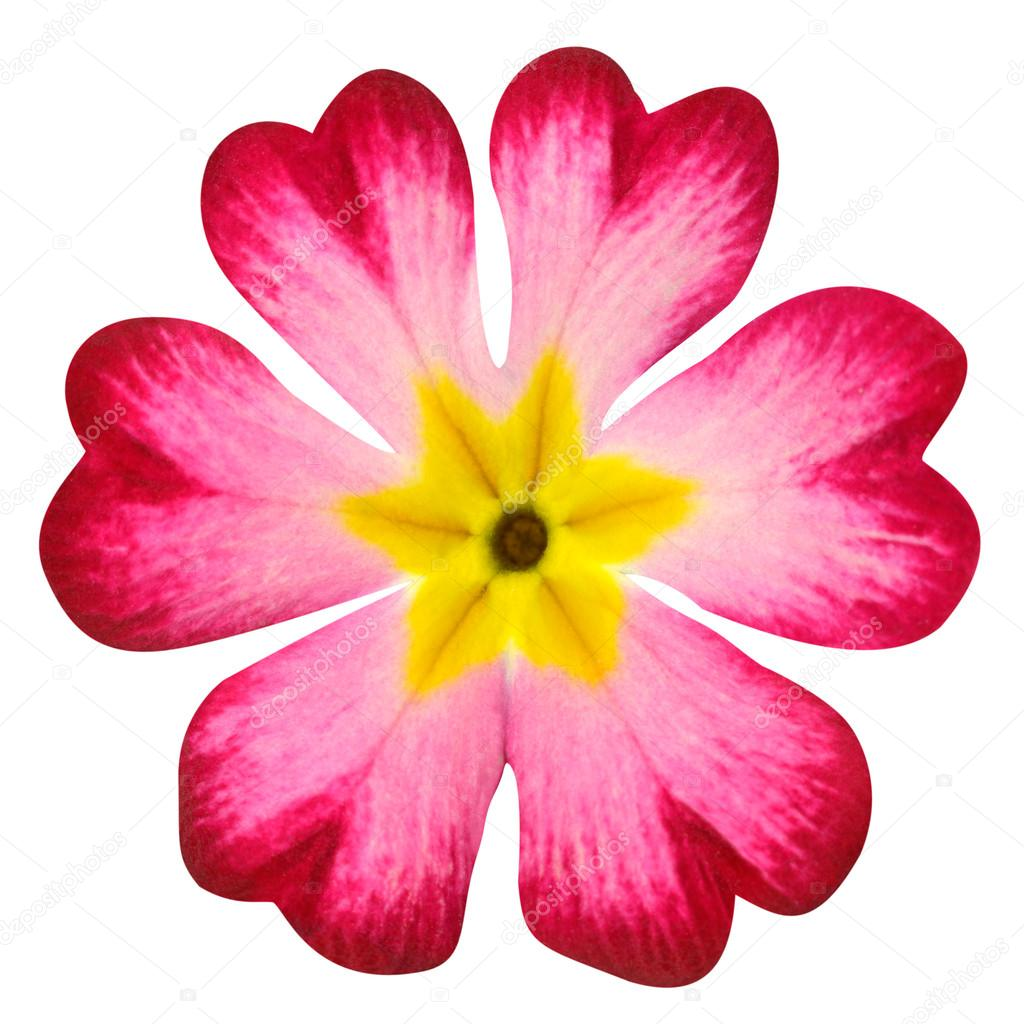Flor De Prímula Rosa Com Miolo Amarelo Isolado No Branco