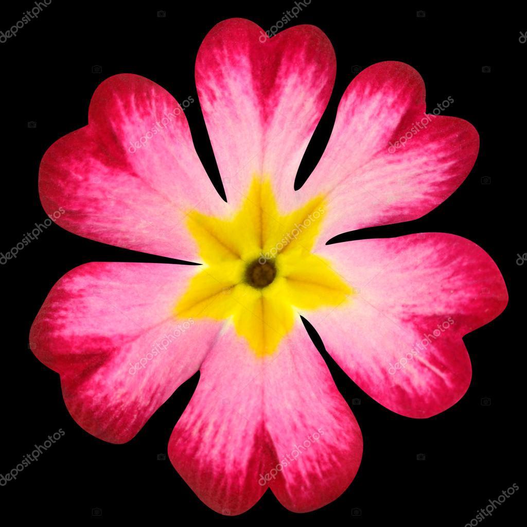 Flor De Prímula Rosa Com Miolo Amarelo Isolado Em Preto