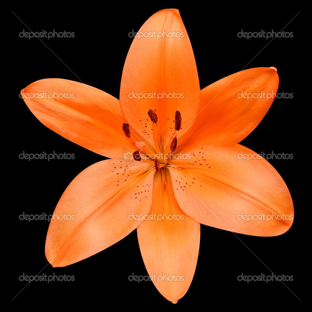 Fleur De Lys Orange Ouvert Isolee Sur Fond Noir Photographie Tr3gi