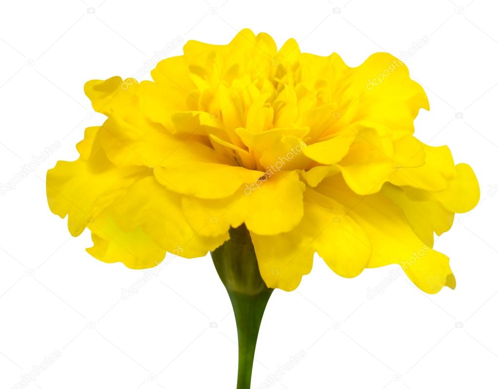 Yellow marigold flower with green stem isolated on white stock yellow marigold flower with green stem isolated on white stock photo mightylinksfo