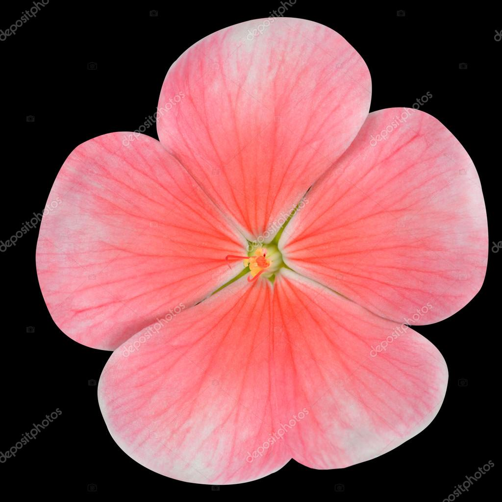 Pink Periwinkle Flower Isolated On Black Stock Photo Tr3gi 40350371
