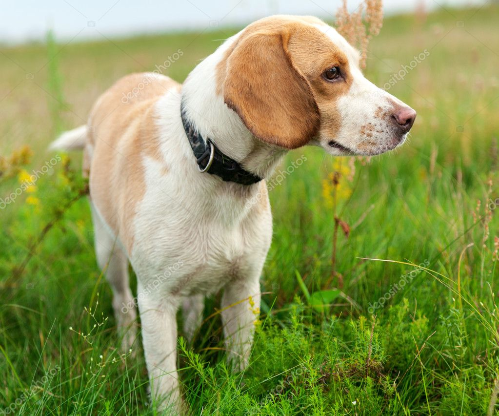 Dog beagle on green meadow