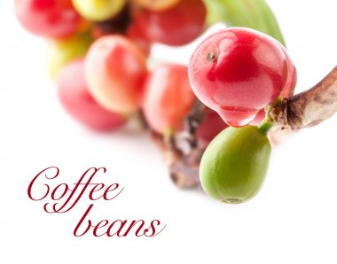 Red coffee beans on branch of coffee tree