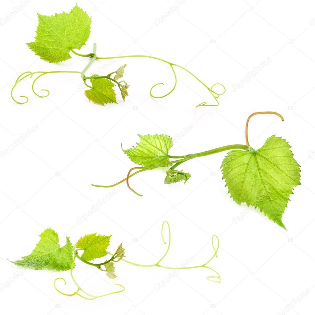 Fresh Green Grape Leaf