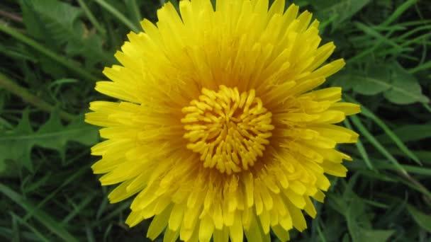 květ Pampeliška otevření květ - timelapse video