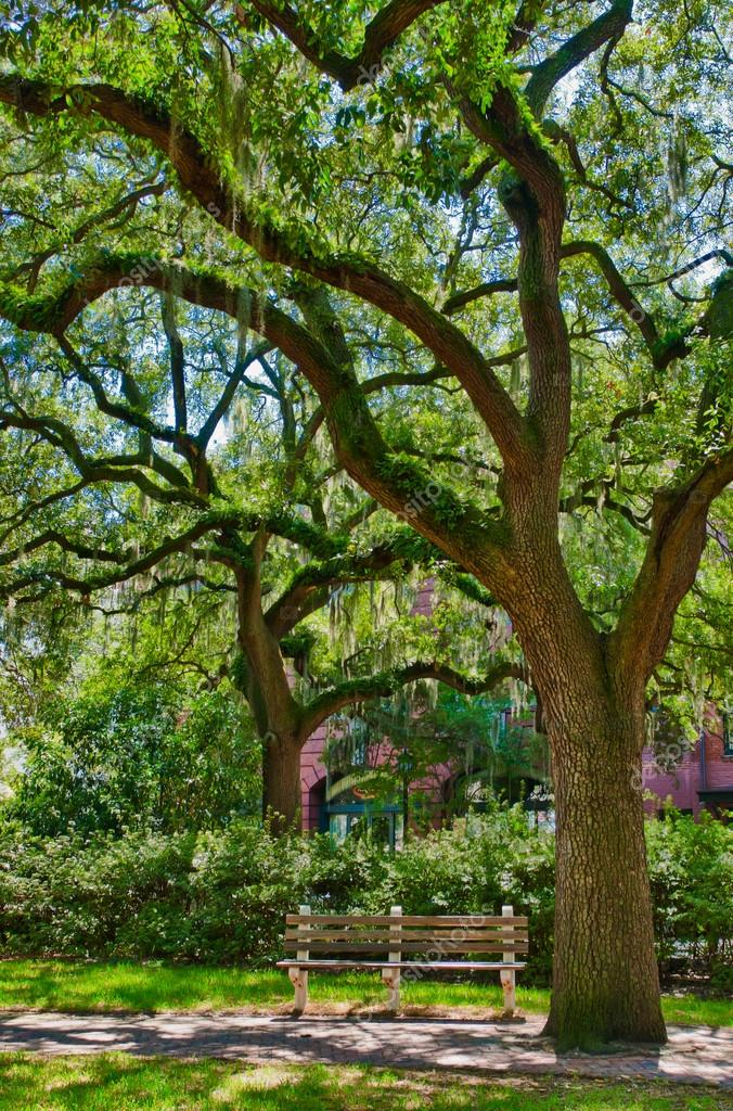 Oak tree with moss in Savannah square