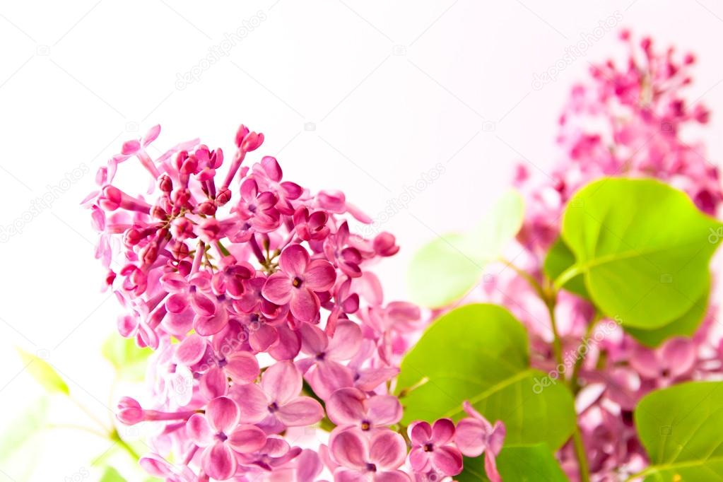 Branch with spring lilac flowers.
