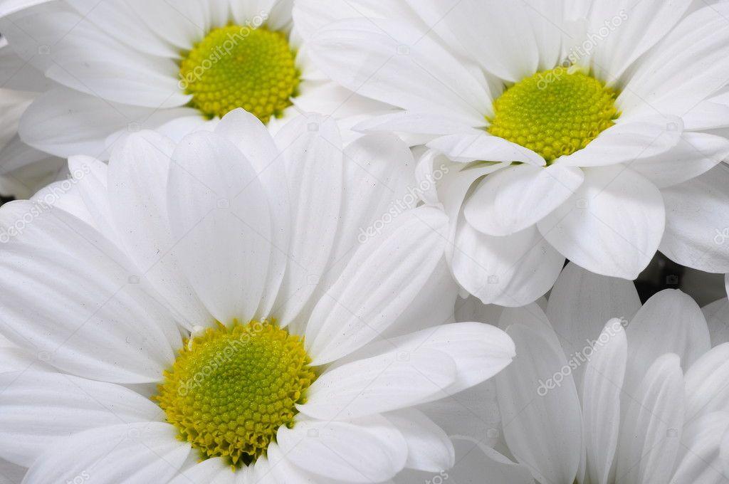 White daisy flower bouquet — Stock Photo © fullempty #46499117