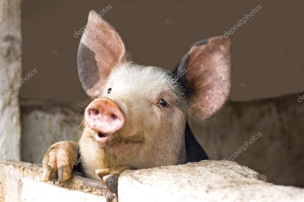 depositphotos_18778825-stock-photo-curious-cute-pigs.jpg