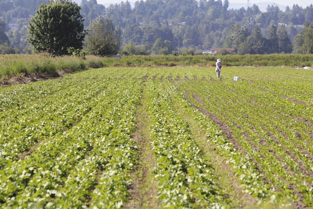 East Indian Farmer Weeding Crop — Stock Photo © modfos #26457779
