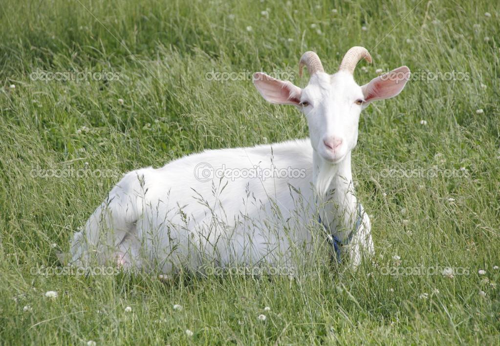 Kiko Goat — Stock Photo © modfos #46901725